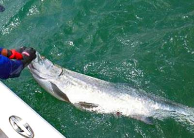 Tampa-Bay-Tarpon-Fishing-Charter