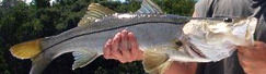Tampa Bay Snook Fishing Guide
